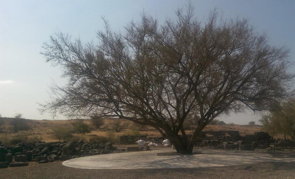 עץ רחבה1
